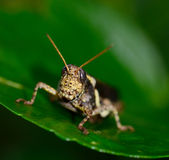 Brown  yellow grasshopper standing on leaf Stock Photos