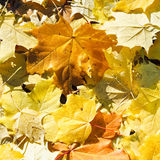 Brown and yellow maple leaf litter close up Stock Image