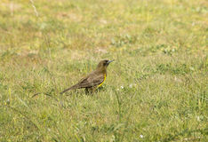 Brown-and-yellow Marshbird Stock Image
