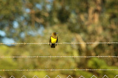 Brown-and-yellow Marshbird Royalty Free Stock Images