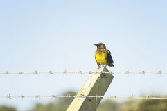 Brown-and-yellow Marshbird Royalty Free Stock Photo
