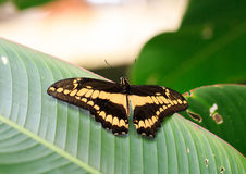A Brown and Yellow patterned Butterfly resting on a green leaf Stock Image