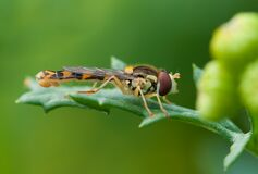Brown and Yellow Robber Fly Perched on Green Leaf during Daytime Stock Photography
