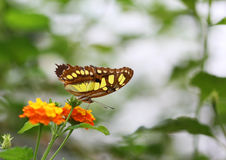 The brown with yellow spots butterfly sitting on orange flower Royalty Free Stock Photography