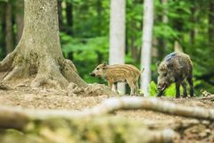 A brown and yellow striped piglet with adult wild boar royalty free stock photos