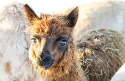 Brown Young Alpaca Stock Images