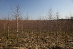 Brown young birch trees forest landscape in spring autumn Lithua Royalty Free Stock Images