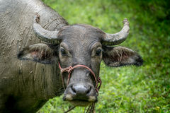 Brown young buffalo Stock Photo