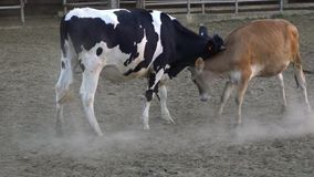 Brown young bull and cow making love. Cows fighting playfully head to head stock video