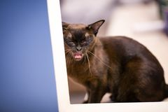 Brown young burmese cat yawns stock images