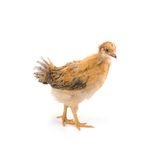 Brown young chicken Stock Photos
