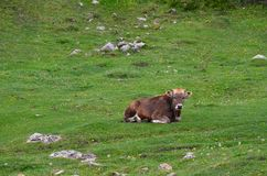 A brown young cow lies on a mountain meadow green surrounded by tiny yellow flowers and looks into the camera royalty free stock image