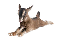 Brown Young Goat lying down (3 weeks old) Royalty Free Stock Photos