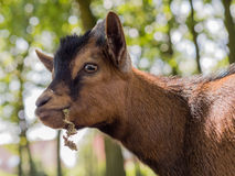 Brown young goat portrait Stock Images