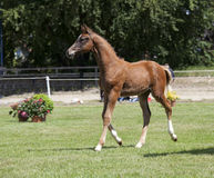 Brown young Holsteiner foals Stock Photo