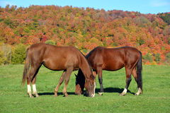 Brown young horse Royalty Free Stock Photos