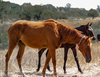Brown young stallion is seen behind the Red Mare Stock Images
