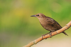 Brown young starling sits on a branch Stock Photo