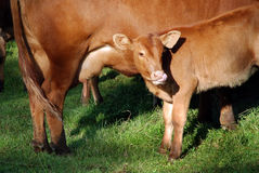 Brown young veal drinks milk from his mother Royalty Free Stock Image
