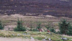 Brown zając, Lepus europaeus, obsiadanie, cleaning wśród roztoki sylwetki przeciw górze zbiory