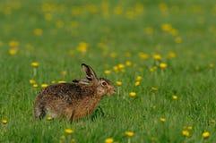 Brown zajęczy obsiadanie w łące, wiosna zdjęcie stock