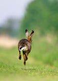 Brown zając bieg Fotografia Royalty Free