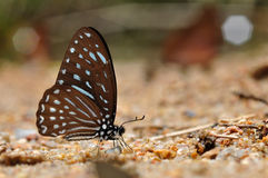 Brown zebra butterfly Royalty Free Stock Image