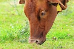 Brown zebu grazing Royalty Free Stock Photography