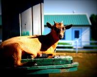 Brown-Ziege auf einem Bauernhof Lizenzfreies Stockfoto