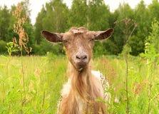 Brown-Ziege im grünen Dorf Lizenzfreies Stockbild