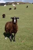 A Brown Zwartbles Rare Breed Sheep. Zwartbles sheep are a rare breed originating in Holland, bnrown with white face stock image