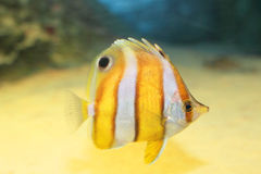 Brownbanded butterflyfish Stock Photo
