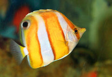 Brownbanded butterflyfish Royalty Free Stock Images