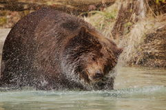 Brownbear Royalty Free Stock Images