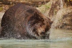 brownbear 免版税库存图片