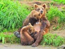 Brownbear Stock Photo