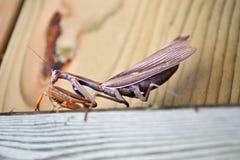 Brownbetender Mantis   Stockbild