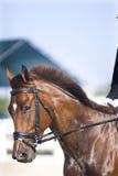 Browndressage-Pferdenportrait Lizenzfreie Stockbilder