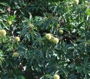 browne 栗子在花的果树 免版税图库摄影