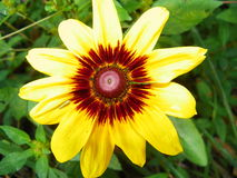 Browned Susan Glow Royalty Free Stock Image