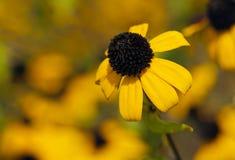 Browneyed苏珊,棕色目的苏珊,稀薄有叶的coneflower,三 免版税库存图片