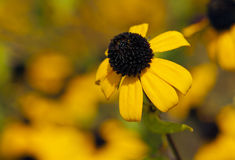 Browneyed Susan, brown-eyed Susan, thin-leaved coneflower, three. Autumn flower. Browneyed Susan, brown-eyed Susan, thin-leaved coneflower, three-leaved Royalty Free Stock Images