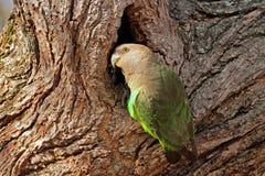 Brownheaded鹦鹉 免版税库存图片