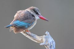 brownhooded kingfisher Royaltyfri Foto