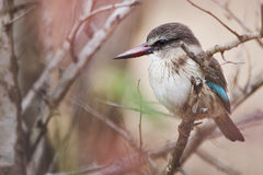Brownhooded Kingfisher Royalty Free Stock Photos