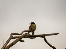 Brownhooded Kingfisher Royalty Free Stock Photography
