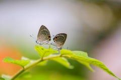 'brownie' de accouplement, Lycaenidae sur la feuille verte Image libre de droits