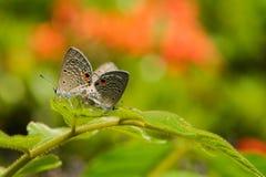 'brownie' de accouplement, Lycaenidae sur la feuille verte Photo libre de droits