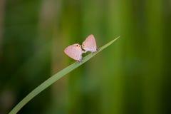 'brownie' de accouplement, Lycaenidae sur le fond vert Photos stock