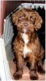 Brownie mijn hond royalty-vrije stock afbeelding